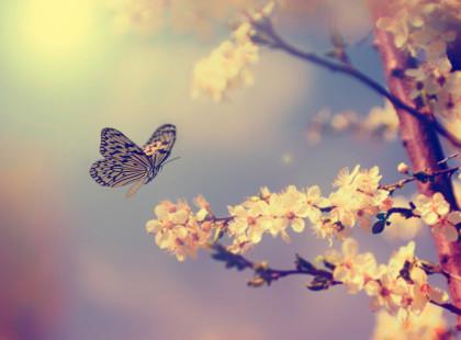 Apple tree flowers in spring